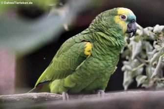 Blaustirnamazone oder Rotbugamazone (Amazona aestiva aestiva)