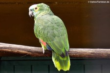 Blaustirnamazone oder Rotbugamazone (Amazona aestiva aestiva) im Zoo Neuwied