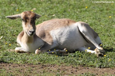 weibliche Hirschziegenantilope (Antilope cervicapra)