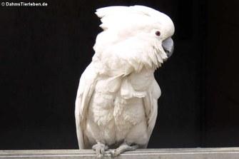 Weißhaubenkakadu (Cacatua alba)