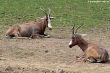 Blessbock (Damaliscus pygargus phillipsi) im Zoo Neuwied
