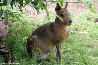 Großer Pampashase oder Großer Mara (Dolichotis patagonum)
