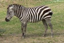 Böhm- oder Grant-Zebra (Equus quagga boehmi) im Zoo Neuwied