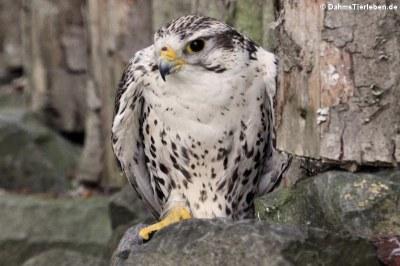 Sakerfalke (Falco cherrug)
