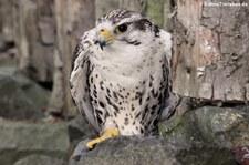 Sakerfalke (Falco cherrug) im Zoo Neuwied