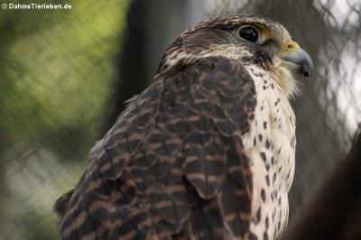 Baumfalke (Falco subbuteo subbuteo)