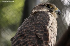 Baumfalke (Falco subbuteo subbuteo) im Zoo Neuwied
