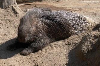 Weißschwanz-Stachelschwein (Hystrix indica)