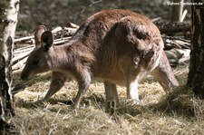 Östliches Graues Riesenkänguru (Macropus giganteus) im Zoo Neuwied