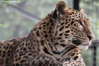 Chinesischer Leopard (Panthera pardus japonensis)