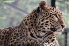 Chinesischer Leopard (Panthera pardus japonensis) im Zoo Neuwied