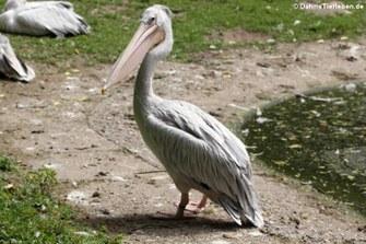 Rötelpelikan (Pelecanus rufescens)