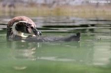 Humboldtpinguin (Spheniscus humboldti) im Zoo Neuwied