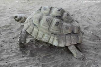 Pantherschildkröte (Stigmochelys pardalis babcocki)