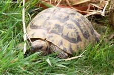 Griechische Landschildkröte (Testudo hermanni) im Zoo Neuwied