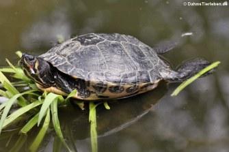 Gelbwangen-Schmuckschildkröte (Trachemys scripta scripta)