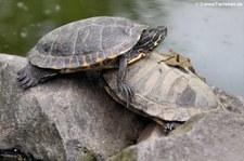 Gelbbauch-Schmuckschildkröte (Trachemys scripta scripta) im Zoo Neuwied