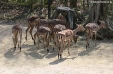 Gewöhnliche Impalas (Aepyceros melampus melampus) im Zoo Osnabrück