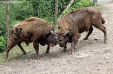 Wisent (Bison bonasus) im Zoo Osnabrück