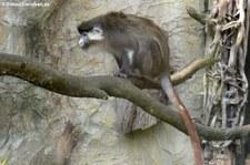 Schmidt-Weißnasenmeerkatze (Cercopithecus ascanius schmidti) im Zoo Osnabrück