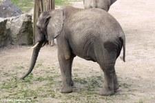 Afrikanischer Elefant (Loxodonta africana) im Zoo Osnabrück