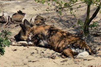 Afrikanischer Wildhund (Lycaon pictus)