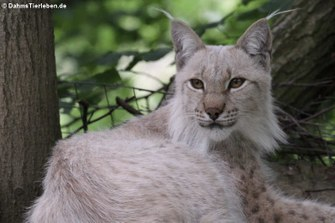 Eurasischer Luchs (Lynx lynx lynx)