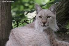 Eurasischer Luchs oder Nordluchs (Lynx lynx lynx) im Zoo Osnabrück