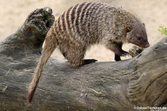 Zebramanguste (Mungos mungo)