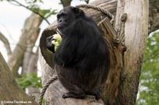 Schimpanse (Pan troglodytes) im Zoo Osnabrück
