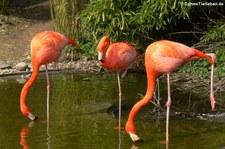 Rote Flamingos (Phoenicopterus ruber ruber) im Zoo Osnabrück