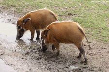 Pinselohrschweine (Potamochoerus porcus) im Zoo Osnabrück
