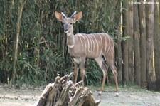 Südlicher Kleiner Kudu (Tragelaphus imberbis australis) im Zoo Osnabrück