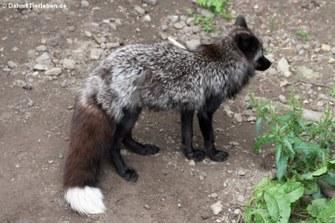 Silberfuchs (Vulpes vulpes)