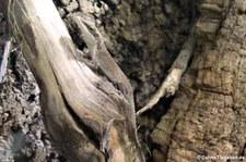Rotkehlanolis (Anolis carolinensis) im Reptilium Landau
