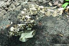 Gabunviper (Bitis gabonica) im Reptilium Landau