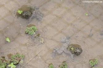 Gelbbauchunken (Bombina variegata)