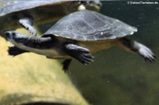 Siebenrock-Schlangenhalsschildkröte (Chelodina rugosa) im Reptilium Landau