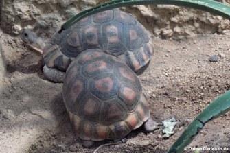 Schnabelbrust-Schildkröten (Chersina angulata)