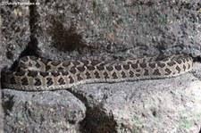 Gewöhnliche afrikanische Eierschlange (Dasypeltis scabra) im Reptilium Landau