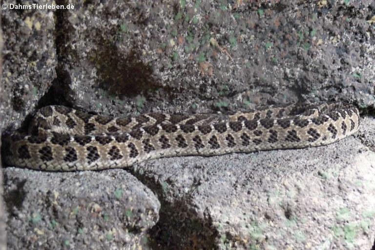Dasypeltis scabra