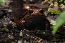 Südlicher Tomatenfrosch (Dyscophus guineti) im Reptilium Landau