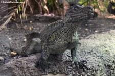Grüne Segelechse (Hydrosaurus weberi) im Reptilium Landau