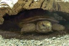 Spaltenschildkröte (Malacochersus tornieri) im Reptilium Landau