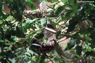 Bredl Python (Morelia bredli)