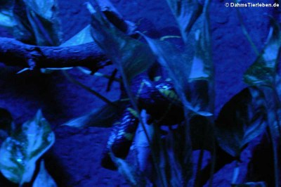 Mangrowen-Nachbaumnatter (Boiga dendrophila)