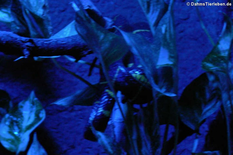 Boiga dendrophila