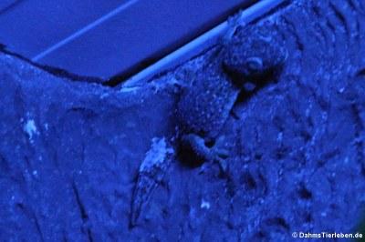 Tokee (Gekko gecko)