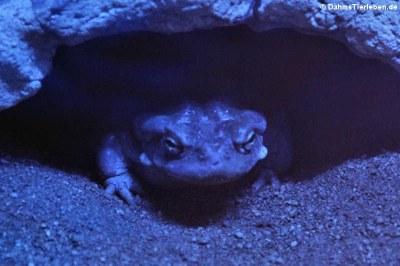 Coloradokröte (Incilius alvarius)