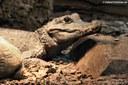 Osteolaemus tetraspis